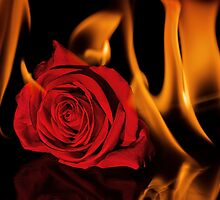 Fiery Rose by April Koehler