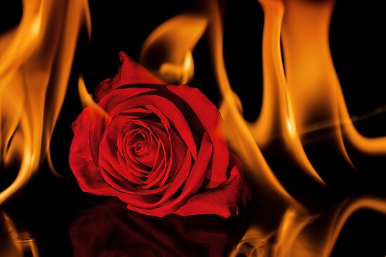 Fiery Rose by April Koehler