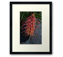 Bottle brush flower Framed Print