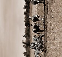 Wild Zebra by Joe Stallard