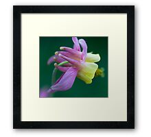 Aquilegia Flower, Jasper National Park, AB Framed Print