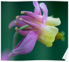 Aquilegia Flower, Jasper National Park, AB Poster