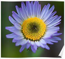 Alpine Daisy Flower, Jasper National Park, AB Poster