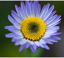 Alpine Daisy Flower, Jasper National Park, AB Photographic Print