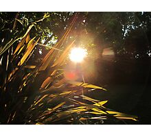 Sunset and flax plant Photographic Print
