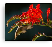 Hummingbird Eating at Flower Canvas Print