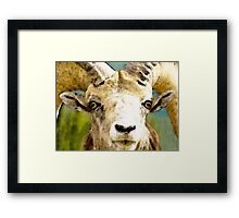 Sheep Art - Ram Tough Framed Print