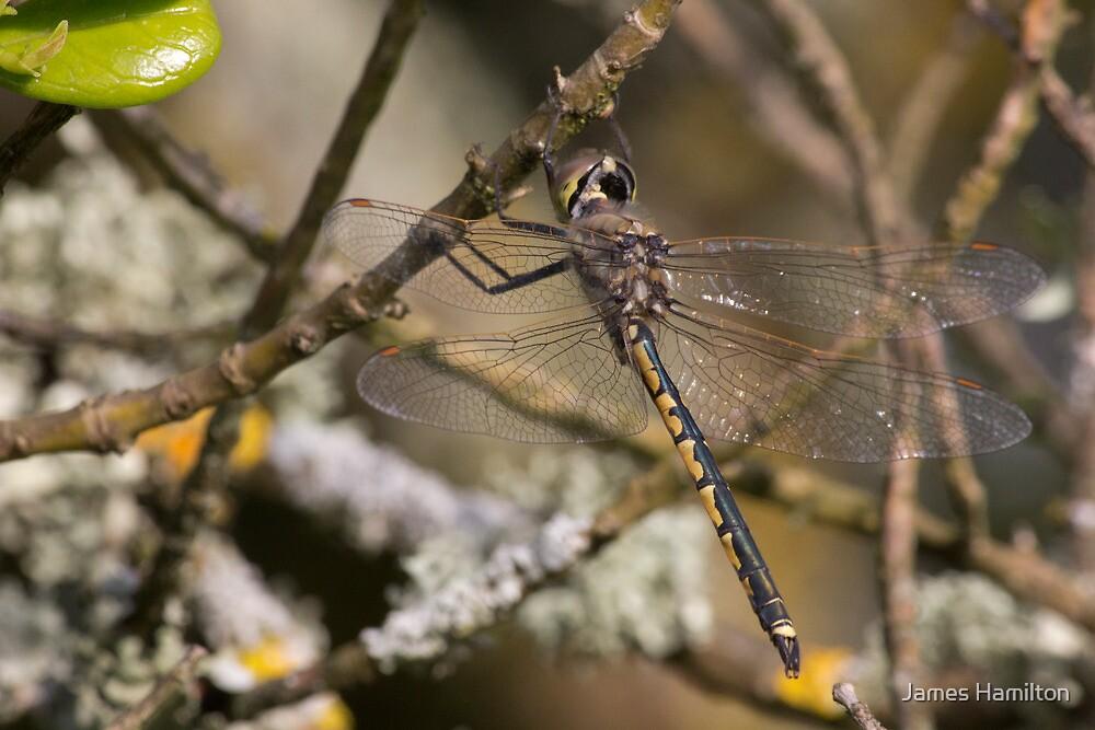 Dragon Flys by James Hamilton