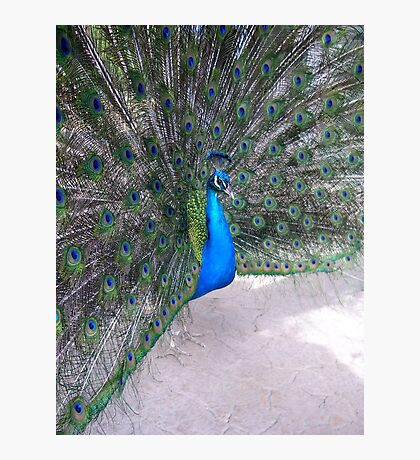 Peacock - San Diego Zoo Photographic Print