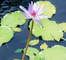 Water lily by Lisa Marie