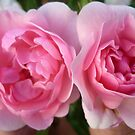 Two Deep Pink Roses by Angela Gannicott