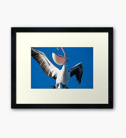 Pelican eating fish Framed Print