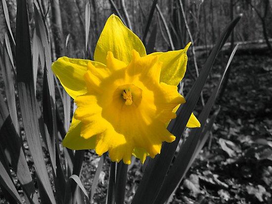 Daffodil by Michael  Sawyer