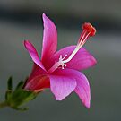 Pink Hibiscus by ExposureTherapy