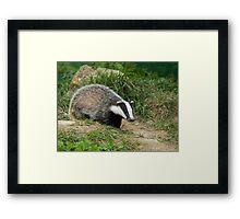 European Badger cub Framed Print