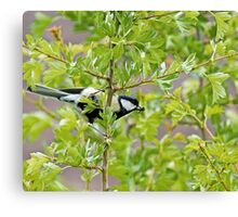 Great Tit with insect Canvas Print
