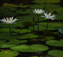 lilies #1 by col hellmuth