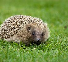 Hedgehog by Sue Robinson