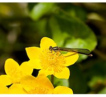 Large Red Damselfly Photographic Print
