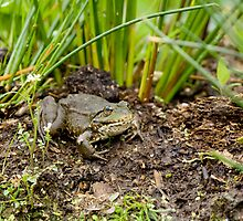 Marsh Frog by Sue Robinson