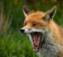Red Fox yawning by Sue Robinson