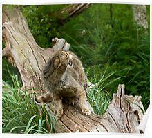 Scottish Wildcat snarling Poster
