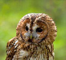 Tawny Owl head  by Sue Robinson