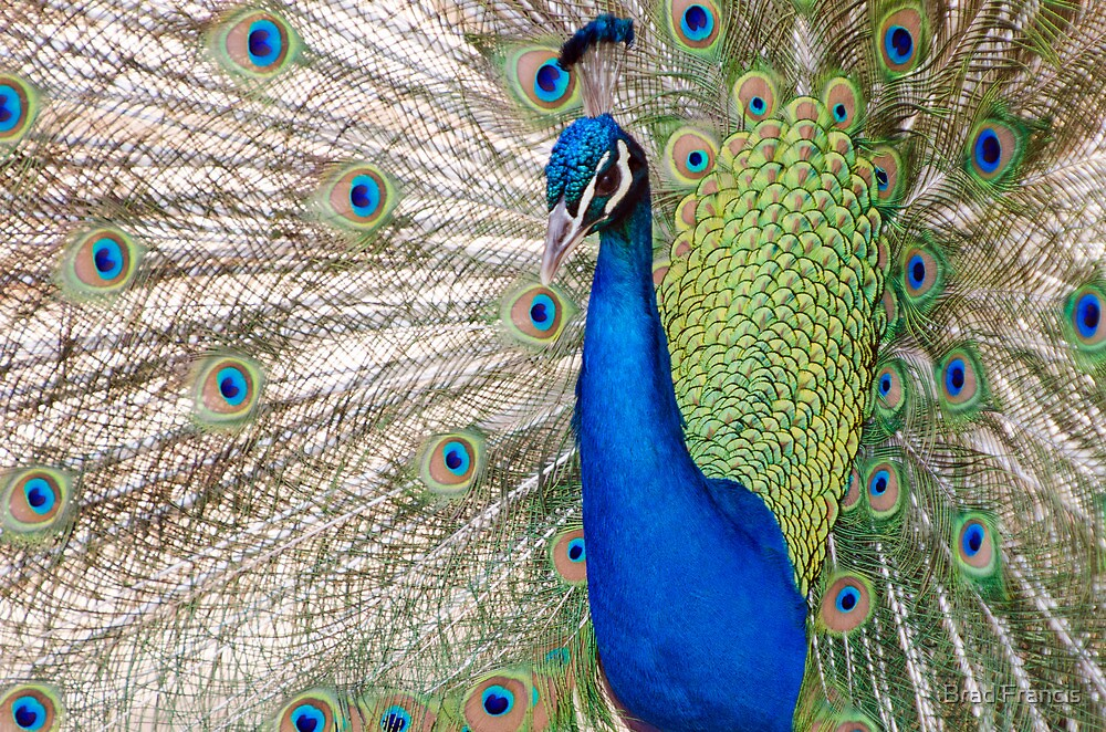 Peacock - Show Off by Brad Francis