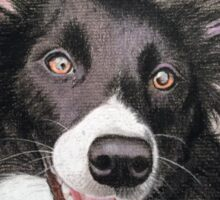 Tori the stunning collie cross lab Sticker