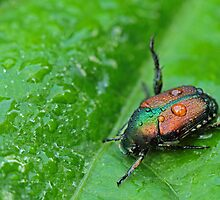 Japanese Beetle by Lynn Gedeon