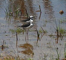 Mawson Lakes Stilts by R-Summers