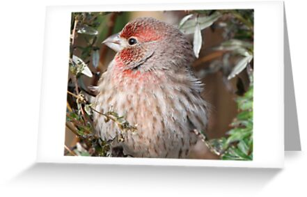 House Finch by Dennis Cheeseman