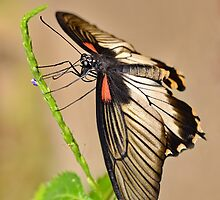 Swallow Tail by Macky