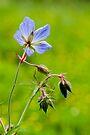 Field geranium by David Isaacson