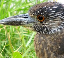 Juvenile Yellow-Crowned Night Heron by AuntDot