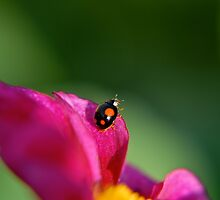 La Coccinelle by GRoyer