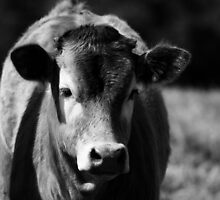 Black and White Calf by Danielle Espin