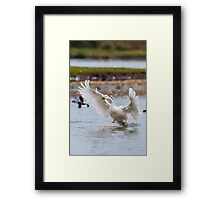 Wild Bewick's swan about to land Framed Print