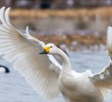 Wild Bewick's swan about to land Sticker