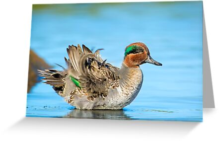 Fluffing Teal by Daniel  Parent