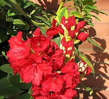 Red Rhodo Buds and Blossoms by Kathryn Jones
