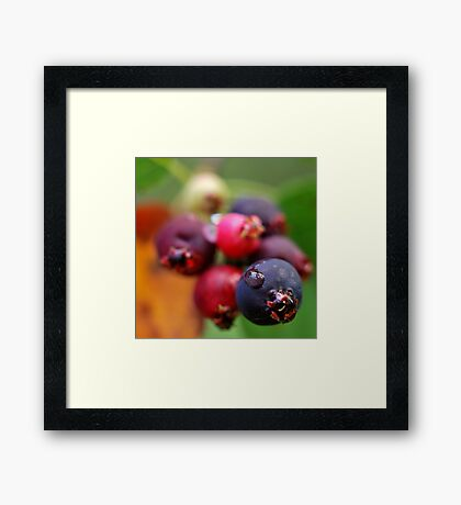 A Drop on a Saskatoon Berry Framed Print