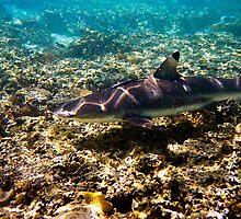 Black Tip Reef Shark - Great Barrier Reef Marine Park by Jaxybelle