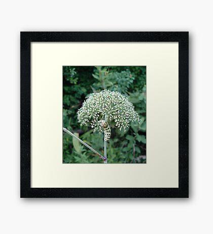 THE FLOWER EATER Framed Print