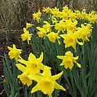 Daffodils in Woodland by MidnightMelody