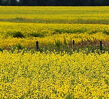 Canola Field and Fence Posts by Randall Talbot