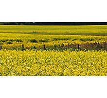 Canola Field and Fence Posts Photographic Print