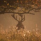 Red Stag at Woburn by JMChown