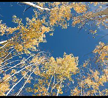 circle of yellow aspens by ruth  jolly