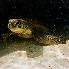 Green Turtle at the Lagoon on Lady Elliot Island by Jaxybelle